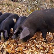 コルシカ豚